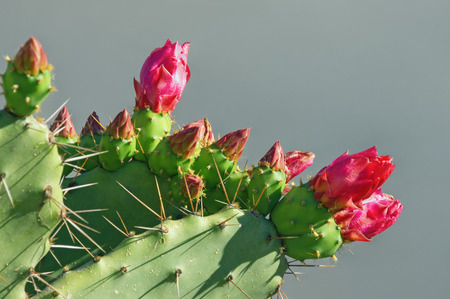 Opuntia ( prickly pear ) . Green flattened leaflike stems and red flowers