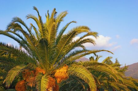 Canary Island Date Palm (Phoenix canariensis) with leaves and fruits on sunny autumn day. Vacation concept
