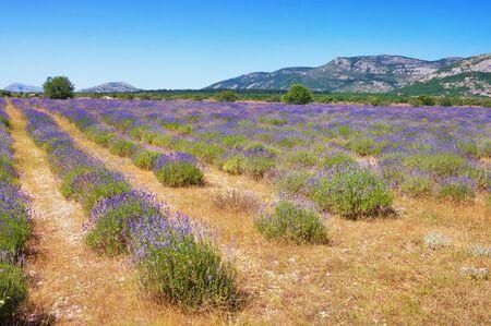 Mountain valley in  Dinaric Alps with field of lavender. Bosnia and Herzegovina, Republika Srpska, Zubacko polje