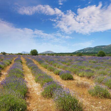 Lavender field in mountain valley of Dinaric Alps on sunny summer day. Bosnia and Herzegovina, Republika Srpska, Zubacko polje