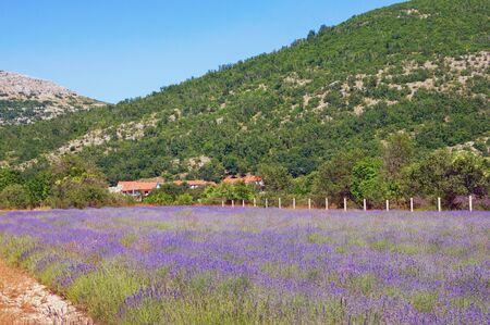 Mountain valley of Dinaric Alps on sunny summer day. Lavender field. Bosnia and Herzegovina, Republika Srpska, Zubacko polje