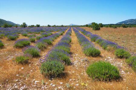 Lavender field. Mountain valley of Dinaric Alps. Bosnia and Herzegovina, Republika Srpska