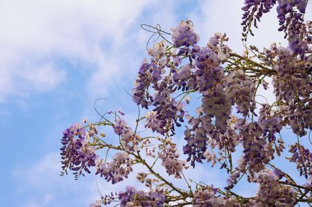 Spring flowers. Blooming wisteria vine against blue sky with white clouds on sunny day Stockfoto - 128534476
