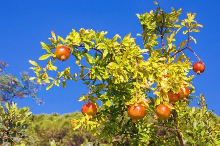Branch of pomegranate tree (Punica granatum) with leaves and ripe fruits against blue sky on sunny autumn day 스톡 콘텐츠