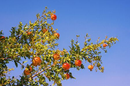 Branch of pomegranate tree ( Punica granatum ) with leaves and ripe fruits against blue sky on sunny autumn day Stockfoto
