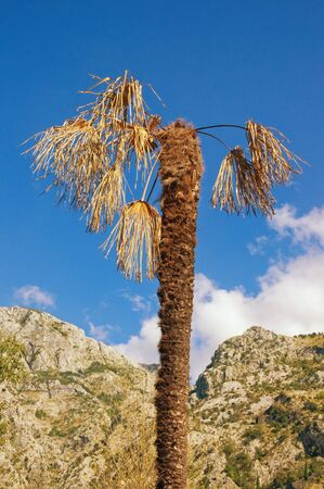Diseases of palm trees. Fan palm (Washingtonia robusta) with dry leaves. Montenegro