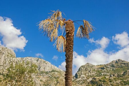 Diseases of palm trees. Fan palm ( Washingtonia robusta ) with dry leaves against blue sky on sunny autumn day. Montenegro