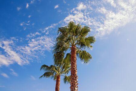 Fan palms ( Washingtonia robusta ) on sunny autumn day against blue sky. Vacation concept