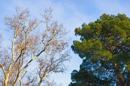 Two trees -  deciduous and coniferous - against blue sky on sunny winter day.  Sycamore and pine tree