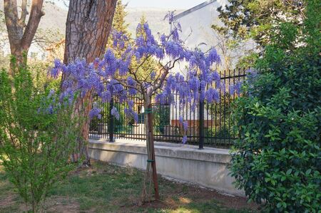 Spring flowers. Blooming wisteria in Mediterranean park. Montenegro, Tivat city. View of Large Town Park Stockfoto