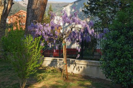 Spring flowers. Blooming wisteria. Montenegro, view of botanical garden ( Large Town Park ) in Tivat city