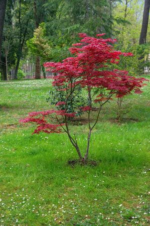 Japanese maple tree with red leaves in spring. Montenegro, Large Town Park in Tivat city Stockfoto