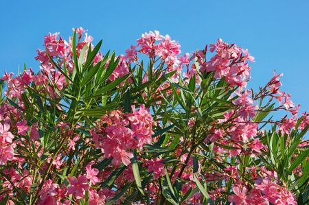 Branches of oleander tree ( Nerium oleander )  with pink flowers against  blue sky on sunny summer day