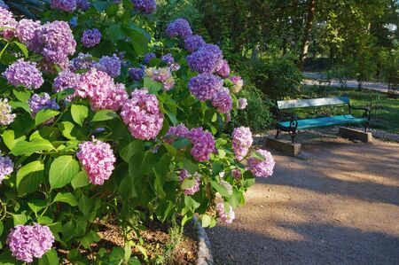 Beautiful flowers of Hydrangea ( Hydrangea macrophylla ) in park. Montenegro, view of Large Town Park in Tivat city