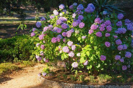 Beautiful flowers of Hydrangea ( Hydrangea macrophylla ) in park on sunny summer day. Montenegro, Tivat city, Large Town Park Stockfoto
