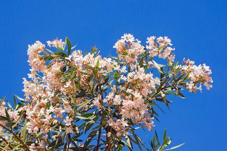 Branch of oleander tree ( Nerium oleander ) in bloom against  blue sky