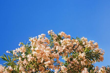 Branches of oleander tree ( Nerium oleander ) with white flowers against  blue sky, free space for text Stockfoto
