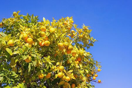 Branches of a tangerine tree with ripe fruits on sunny autumn day Stockfoto