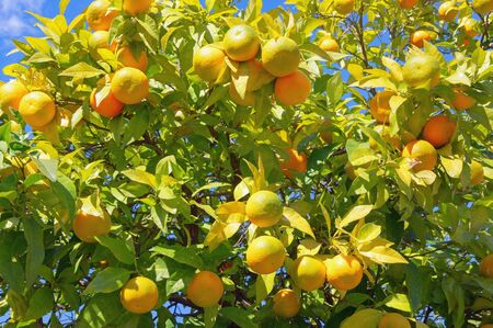 Branches of a tangerine tree with ripe fruits on sunny day Stockfoto