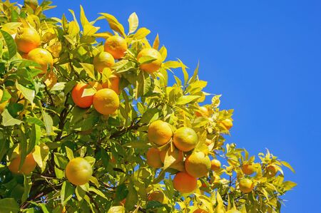 Branches of a tangerine tree with ripe fruits against blue sky on sunny autumn day