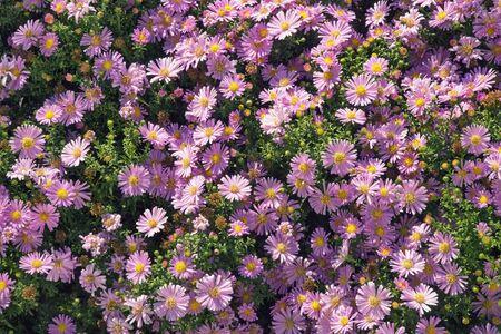 Aster  flowers ( Aster alpinus ) in garden on sunny autumn day, background