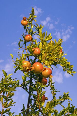 Sunny autumn. Branch of pomegranate tree (Punica granatum) with leaves and ripe fruits against blue sky