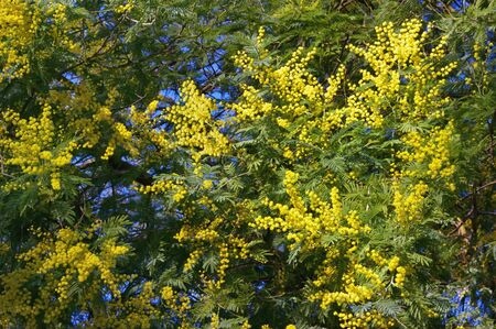 Springtime . Bright yellow flowers of Acacia dealbata ( mimosa ) tree on sunny spring day