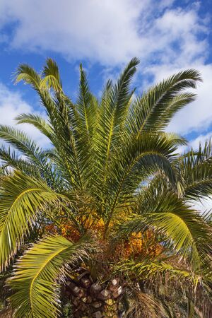 Canary Island Date Palm (Phoenix canariensis) with leaves and fruits against sky on sunny day. Vacation concept. Montenegro