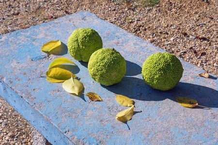 Autumn. Fruits and yellow leaves of Osage orange ( Maclura pomifera ) on old rustic bench. Montenegro