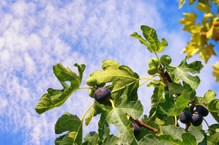 Sunny autumn day. Branch of  fig tree ( Ficus carica ) with leaves and fruits against sky