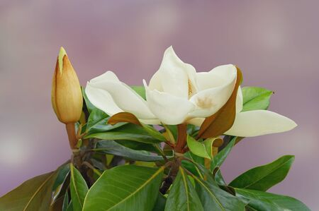 Spring. Beautiful white flower of magnolia ( Magnolia grandiflora ) with bud and green leaves