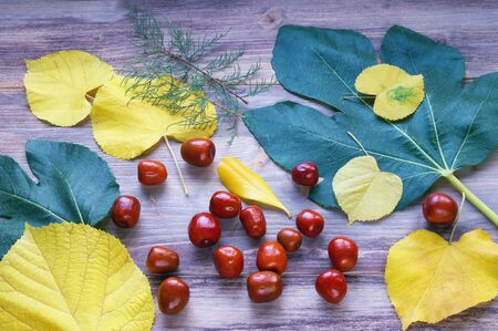 Autumn background. Bright yellow and green leaves and jujube fruits ( Ziziphus jujuba )