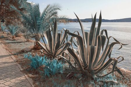 Surreal blue landscape. Agave and fan palm trees on the coast of the bay. Montenegro, Kotor Bay, Tivat