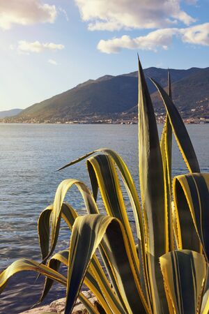 Leaves of agave ( Agave americana ) on background of Mediterranean landscape on sunny winter day. Montenegro, Bay of Kotor, Tivat
