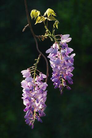 Spring flowers. Blooming wisteria vine in garden on dark background