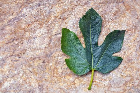 Fig leaf, leaf of fig tree. Metaphor of concealing what may be considered indecorous or indecent. Free space for text