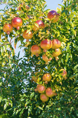 Branches of pomegranate tree (Punica granatum) with leaves and ripe fruits