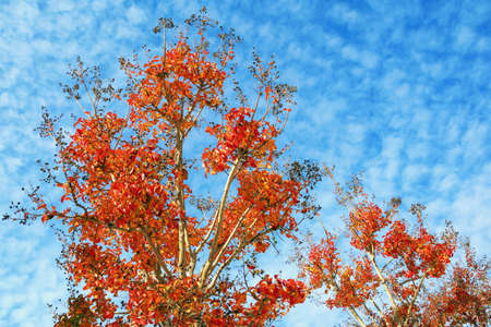 Sunny autumn day. Lagerstroemia ( Crepe Myrtle ) trees with bright red leaves against scenic blue sky