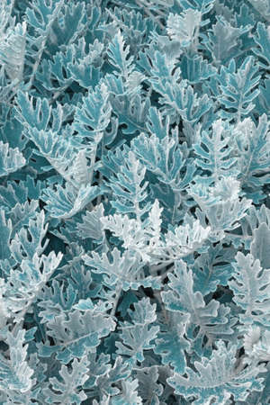 Beautiful vegetative background. Foliage of Silver dust plant ( Dusty Miller ), color toned