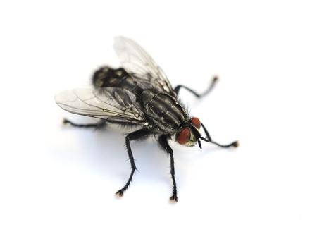 Wspólna mucha domowa Musca domestica na białym tle Zdjęcie Seryjne
