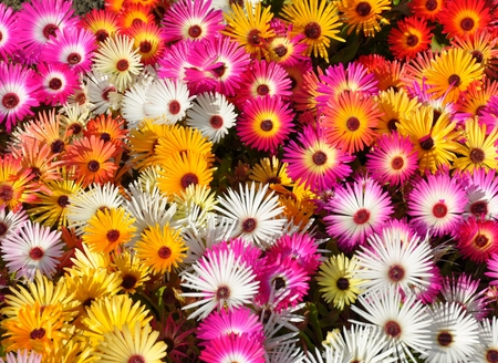 Livingstone daisy in different colors