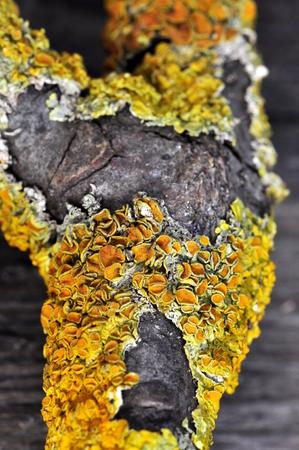 Orange lichen xanthoria polycarpa on a branch