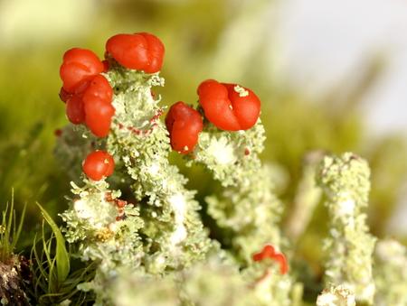 The lichen Cladonia bellidiflora Stok Fotoğraf