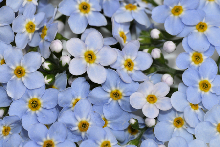 Closeup on the blue wildflower Water Forget-me-not