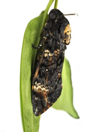 Death's-head Hawk moth, Acherontia atropos Stok Fotoğraf