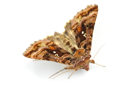 The nocturnal butterfly Golden Y, Autographa pulchrina isolated on white background