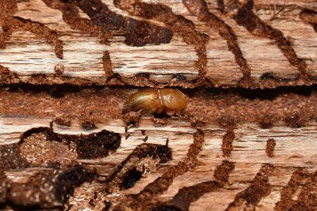 European spruce bark beetle Ips typographus infestion under the bark of a spruce tree