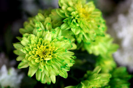 bunched: Green Chrysanthemum close up