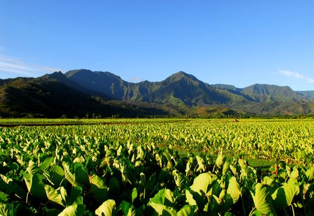 Taro field in the Hanalei Valley of Kauai Hawaii