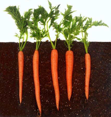 carrots: Organic carrots growing in rich dark dirt